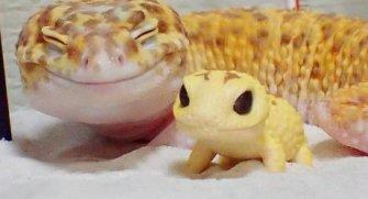 Geko kertenkeleleri sevimlilikleriyle dikkatleri çekmeyi başarıyor! Bu ilgi çekici türü yakından tanımak için listemize buyrun.