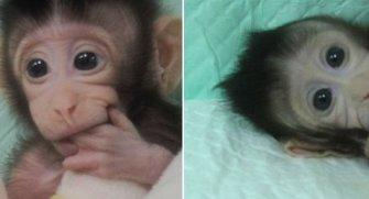 1996 yılında ilk klonlanan koyunun hatırlarsınız, Dolly. Hala hafızalarda olan o müthiş olay aynı teknik ile maymunlarda uygulandı. Klonlanan maymunlar ile tanışmak için yazımıza buyrun :)