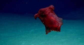 Deniz kaşifleri değişik canlılarla karşılaşacaklarını bekliyorlardı. Ancak böyle bir şey beklemiyorlardı. ''Kafasız tavuk canavarı''yla tanışalım.