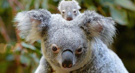 Avustralya Yangınlarından en çok etkilenen türlerden biri olan Koalalar hakkında bir bilgi seli hazırladık. Bu sevimli canlıların doğasına yakından bakalım.